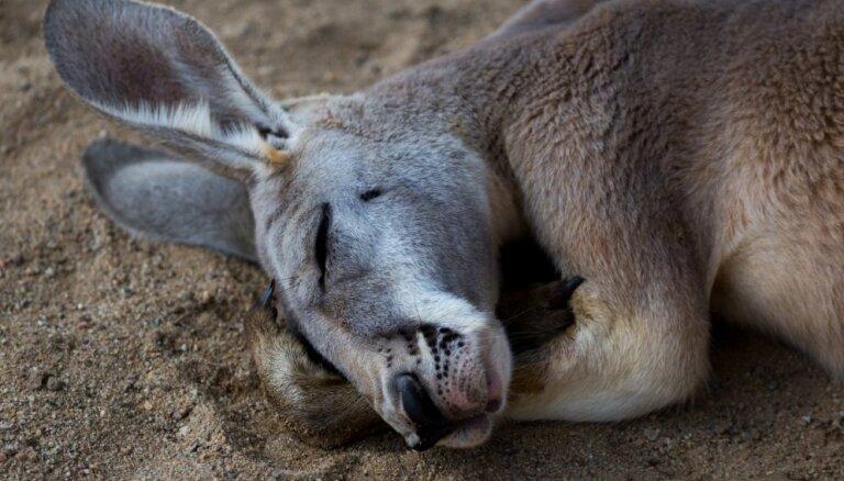 ВИДЕО. Кенгуру спит в странной позе, это подозрительно: на Рижский зоопарк пожаловались в полицию