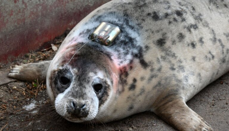 Тюлененка из Рижского зоопарка выпустят на волю со спутниковым датчиком