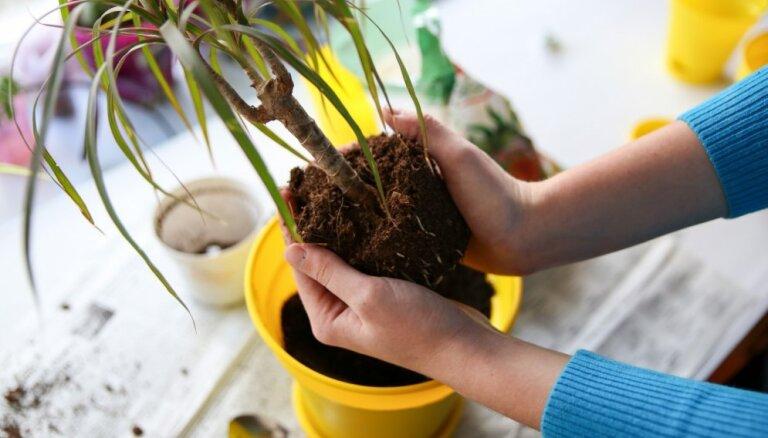 Инструкция: как пересаживать комнатные растения