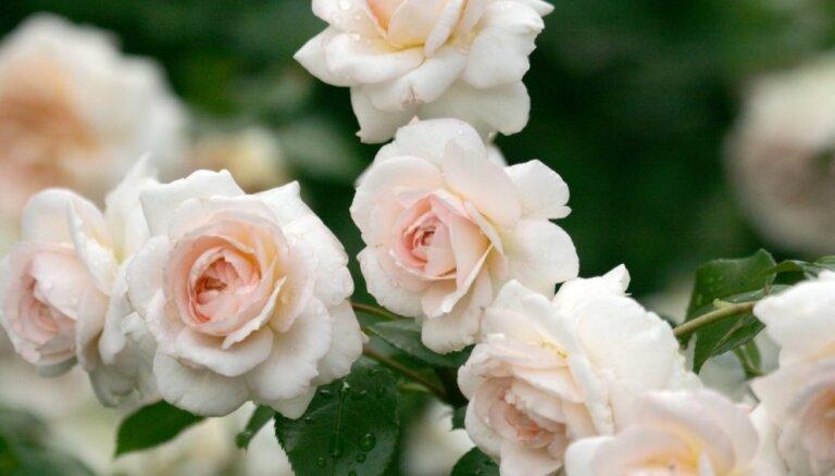 Augs ar raksturiņu: īsa pamācība rožu audzēšanā