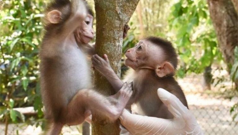 Sirsnīgs stāsts: Primātu bārenīši izveido nešķiramu draudzību