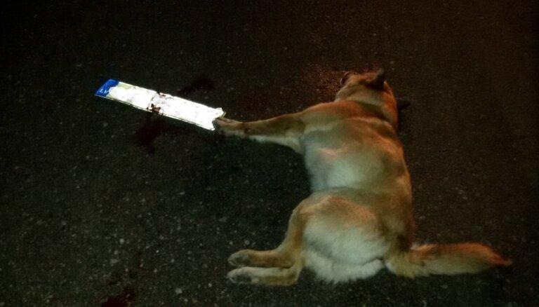 Autovadītājs Demenē savaino suni un aizbēg: kā jārīkojas, notriecot dzīvnieku