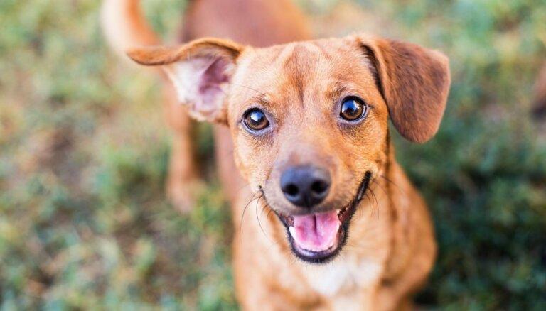Mīts vai patiesība: kad suns ir priecīgs, viņam uzkarst ausis