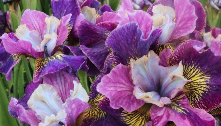 Dārza ABC: Sibīrijas īrisi, kas izceļas ar krāšņiem un smaržīgiem ziediem