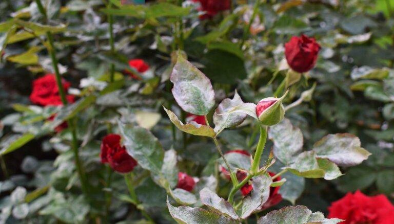 Rožu miltrasas apkarošana bez liekas ķīmijas