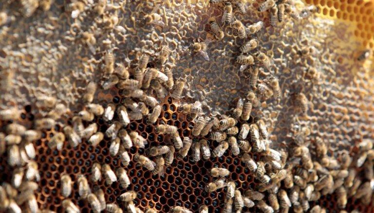 Bites jau otro gadu vāc medu uz Rīgas Latviešu biedrības jumta pašā Rīgas centrā