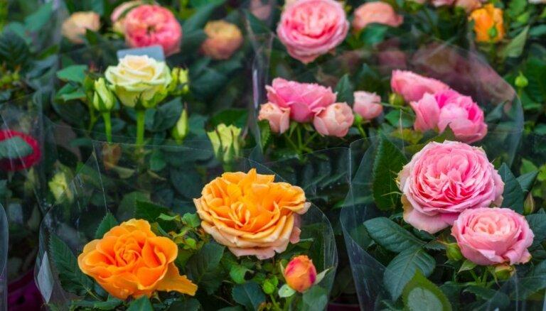 No svaigāko ziedu izvēles līdz pareizai uzglabāšanai. Valentīndienas simbols – rozes.
