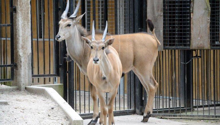 Rīgas Zoo ieradušies pirmie 'Āfrikas savannas' iemītnieki