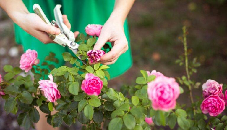 Septembris puķu dobēs: mēslojam ziemcietes, stādām sīpolpuķes un apgriežam rozes