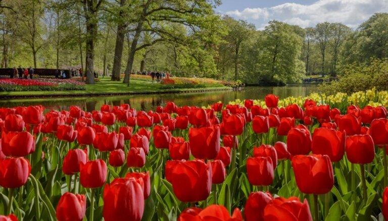 Foto: Košā pavasara pasaka un ziedu upes Keukenhofas dārzā