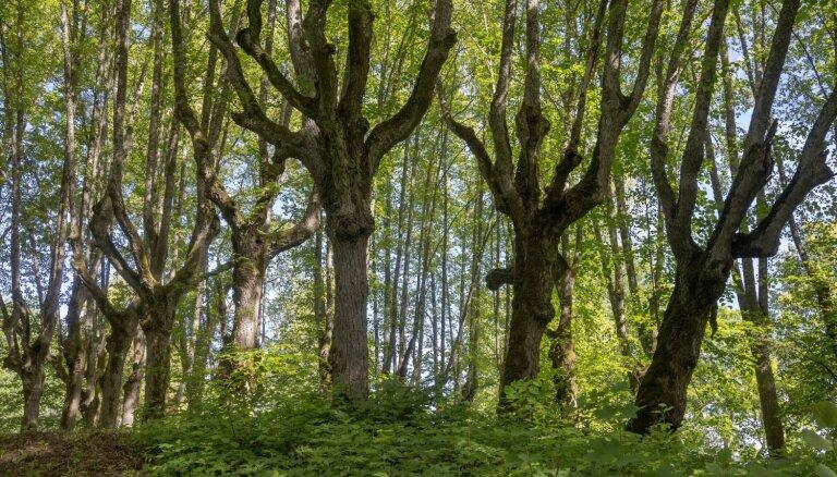 Foto: Maģiskais Lindes muižas parks, kur koki šķietami aug ar saknēm uz augšu