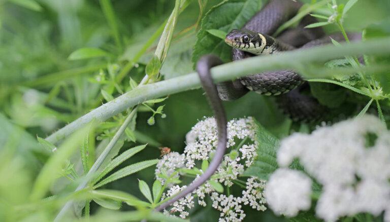 Dārza kari: ko darīt ar čūsku – apkarot vai sadzīvot?