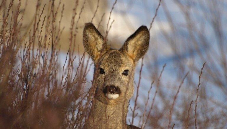 Stirnu neparastā uzvedībā zoologi aizdomās tur ziemas rapsi