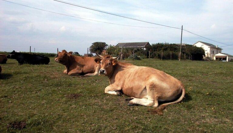Pērn saimniecībās pieaudzis liellopu skaits, cūku skaits sarucis