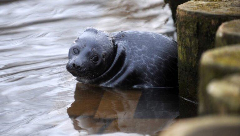 На берегу в Саулкрасты найден первый в этом году тюлененок