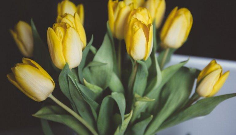 Sieviešu dienas klasika – tulpes. Kā izraudzīties svaigākās un pēc tam ilgi saglabāt vāzē