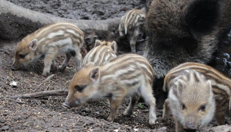 Līgatnes dabas taku saimei pievienojušies septiņi ņipri mežacūku sivēni