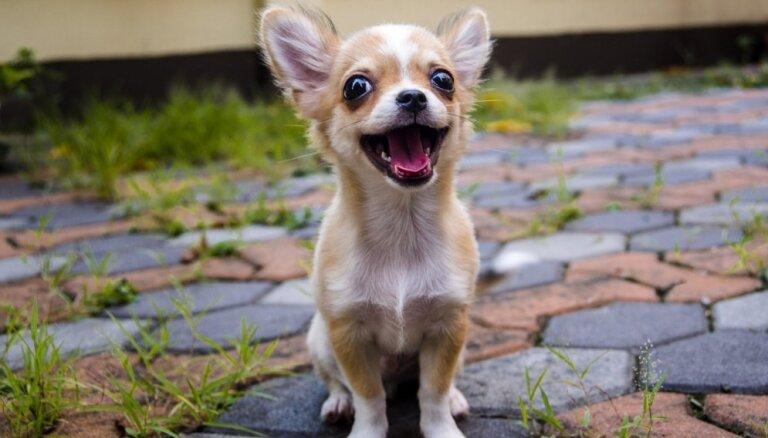 Smaga elsošana un zāles ēšana – interesanti skaidrojumi par ierastām suņu darbībām