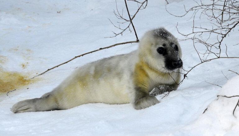 ФОТО, ВИДЕО. В Рижском зоопарке родился маленький тюлененок