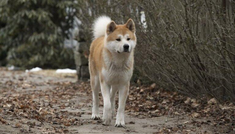 ВИДЕО: собака в Риге несколько дней просидела рядом с умершим хозяином