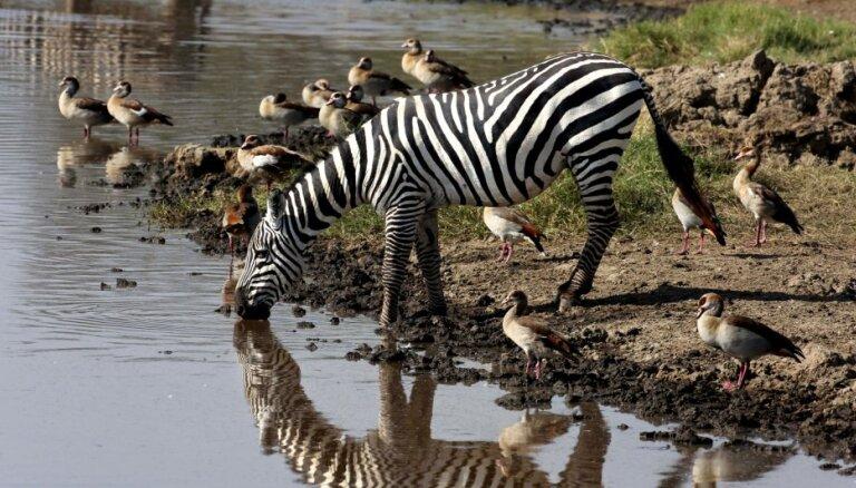 Ученые переодели лошадей и поняли, зачем зебре полоски