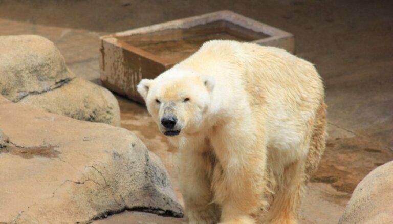 В Таллинском зоопарке усыпили подаренного Россией белого медведя