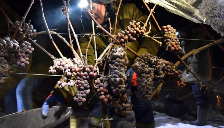 Foto: Kā Polijā īpašajam ledus vīnam novāc sasalušas vīnogas