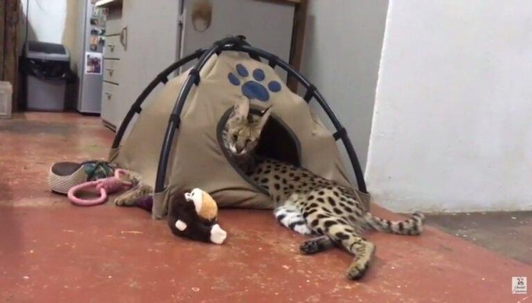 Video: Servals saplēš telti un īpatnējā veidā spēlējas