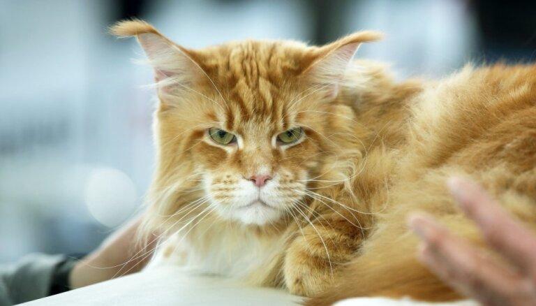 Foto: Retas šķirnes un īpaši šovi – kaķi pulcējas izstādē Rīgā
