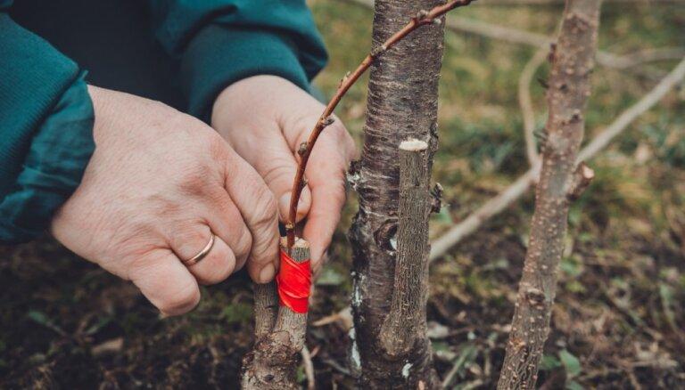 Veido vainagus, potē ābeles un uzfrišini mauriņu: darāmo darbu saraksts pavasarī