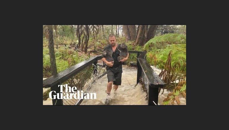ВИДЕО. Наводнение в зоопарке Сиднея: промокших коал снимают с деревьев, аллигаторов загоняют в вольеры метлами