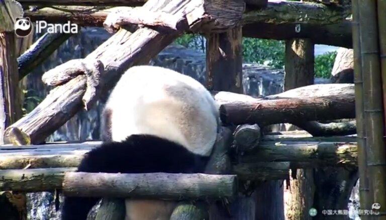 Video: Panda gandrīz iesprūst starp kāpņu redelēm