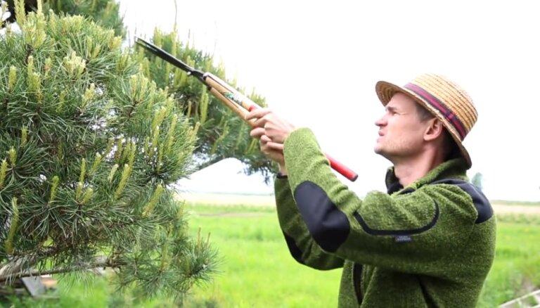 Frizējam skuju kokus! Padomi, kā pareizi apgriezt priedes