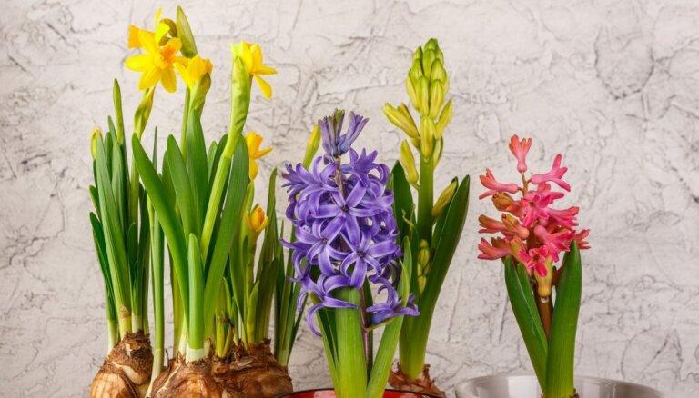 Noziedējušas narcises un hiacintes: kā saglabāt sīpolus stādīšanai dārzā