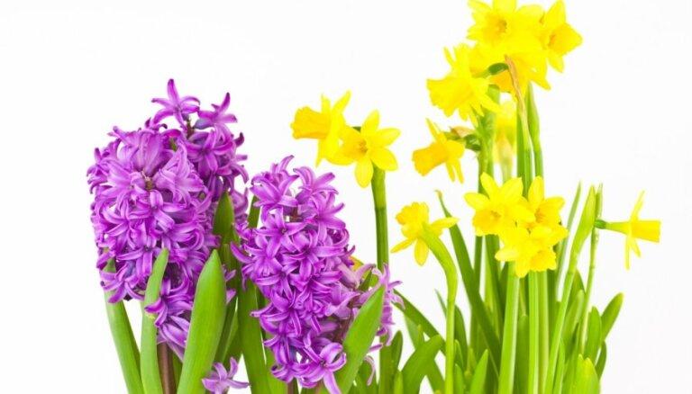 Deviņi istabas augi ar skaistiem, smaržīgiem ziediem