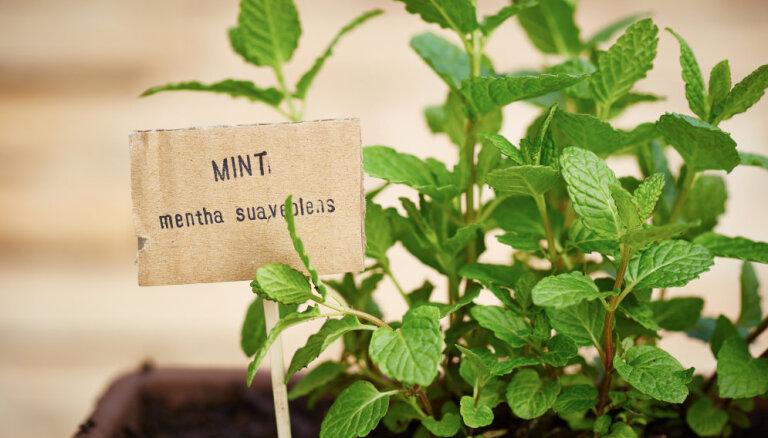 Garšaugu dārziņš uz palodzes: kā no spraudeņa izaudzēt piparmētru