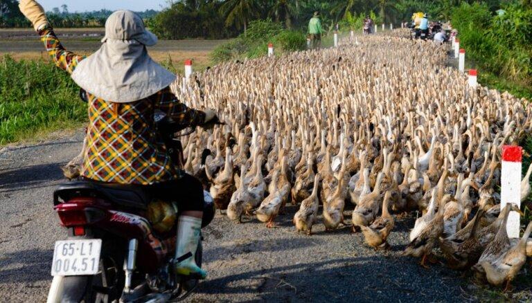 Neparasts skats: pīļu pūlis bloķē satiksmi Vjetnamā