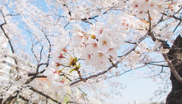 Video: Japānā sākusies maģiskā sakuras ziedēšana