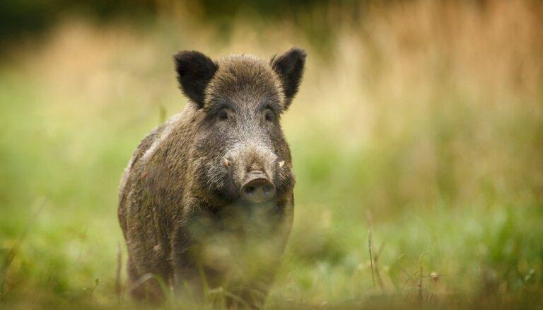 Āfrikas cūku mēris šonedēļ atklāts sešām mežacūkām Latvijā