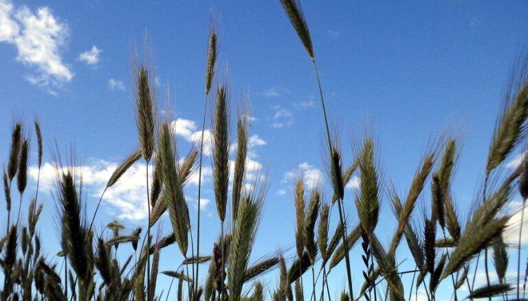 Lauksaimniecībā Latvijā visienesīgāk ir audzēt graudus, liecina LLU pētījums