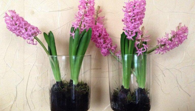 Kā iestādīt hiacintes, lai tās neliektos?