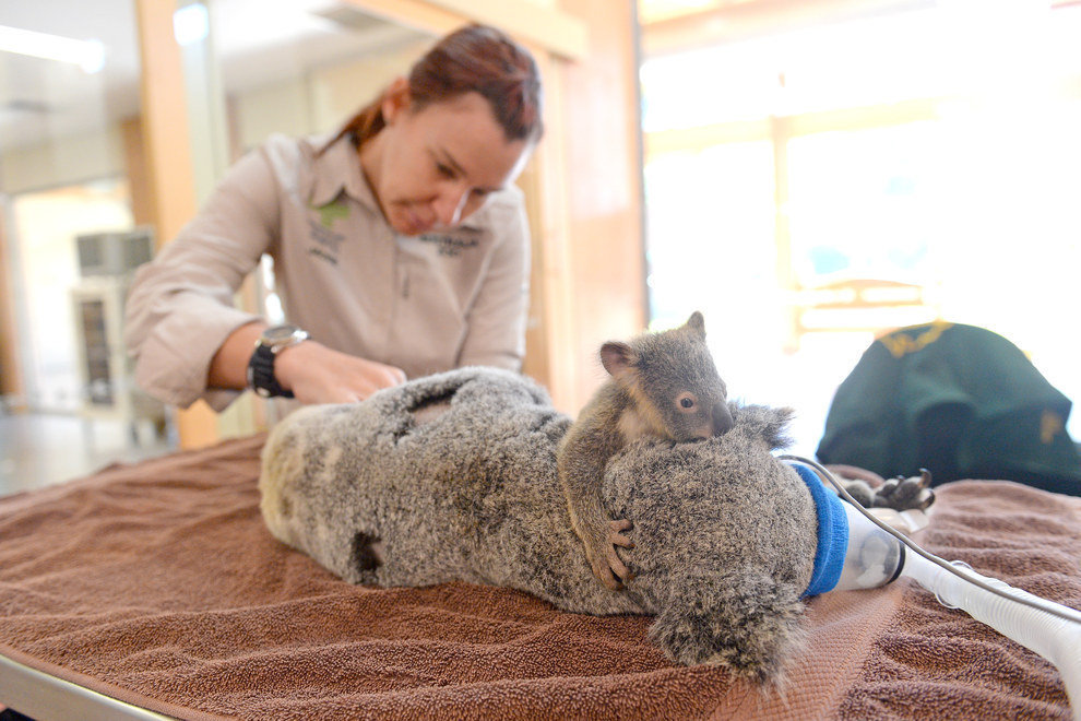 Aizkustinošs stāsts: koalas mazulis operācijas laikā sargā mammu