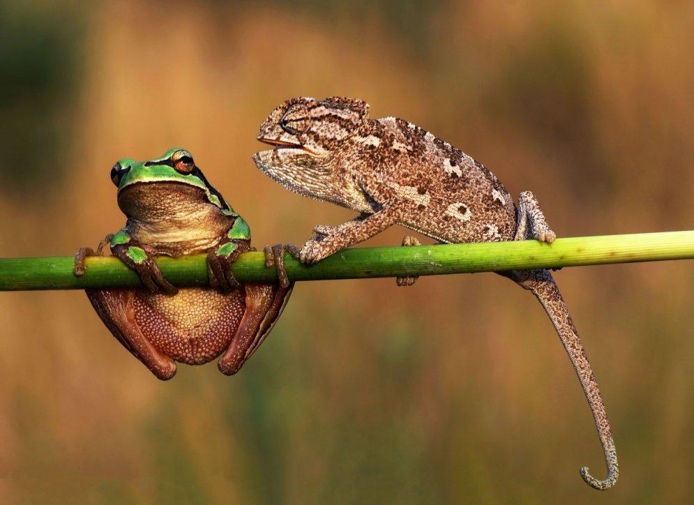 Свободы слова нет нигде. Пять фото, на которых хамелеон затыкает рот лягушке
