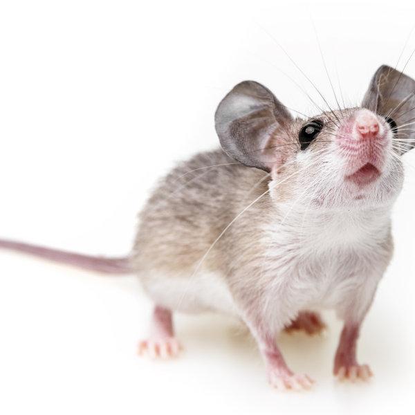 Adatu pele jeb lēcējpele