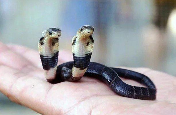 Ķīnā dzīvo kobra ar divām galvām, kas viena otrai cenšas iekost