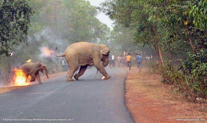 ФОТО горящего слоненка получило награду на международном конкурсе