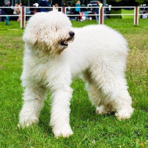 Dienvidkrievijas aitu suns