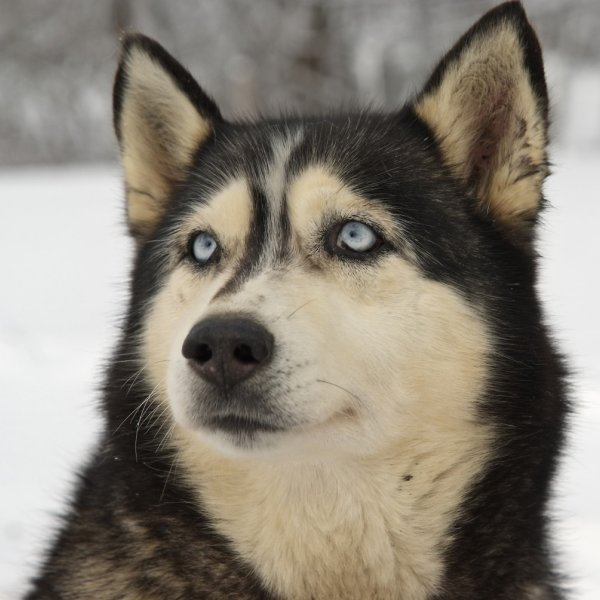 Grenlandes suns
