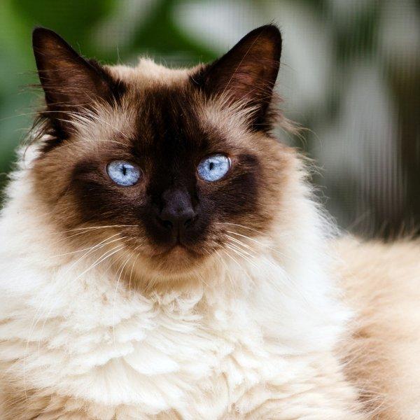 Himalaju kaķis