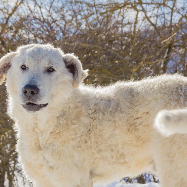 Maremmas-Abrucijas aitu suns